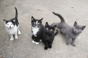 Cute Kittens Grey/Black/Tuxedo/Patchs , 2 Girls, 2 Boys
