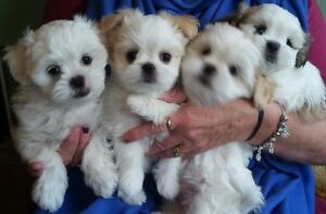 LhasaApso-ShihTzu-Puddle Mix Puppies 8 Weeks Old