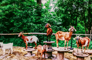 Dairy goat for sale