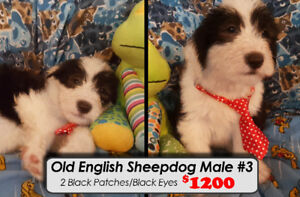 ONLY 5 LEFT - Old English Sheepdog Puppies!