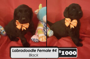 Labradoodle Puppies for sale ONLY 2 LEFT