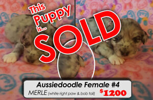 AUSSIEDOODLE PUPPIES~!! SOLD OUT TAKING NAMES FOR NEXT LITTER