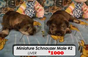 Miniature Schnauzers Puppies For Sale Ready for Dec 26th