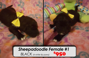 Sheepadoodle Puppies For Sale~!! Ready Dec 31st