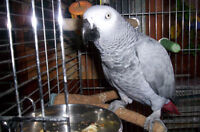 AFRICAN GREY PARROT-----------FEMALE------