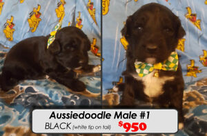 Aussiedoodle Puppies For Sale~!!  **Perfect For The Holidays**