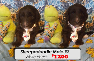Sheepadoodle puppies for sale ** HURRY only 2 left **
