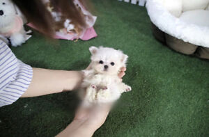 Top Quality❤Teacup Maltese female puppy !~!~