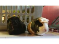Pair female Guinea pigs with cage