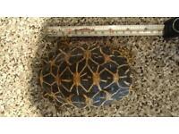 India start tortoise