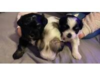 Puppies Morkie mix mini Shih Tzu