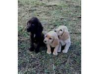 Cocker spaniel puppies, PRA clear