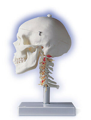New 3b Anatomical Human Skull W Cervical Spine A201