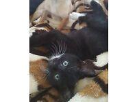 Kitten for sale - 1 girl left.