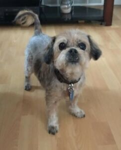 **Gorgeous Dani - SHIH TZU cross is available for adoption****