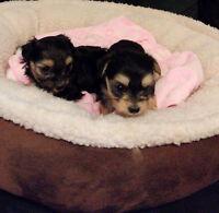 Chiots croisés Bichon Maltais / Yorkshire Terrier