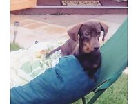 Chocolate and Tanned Miniature Short Haired Dachshund