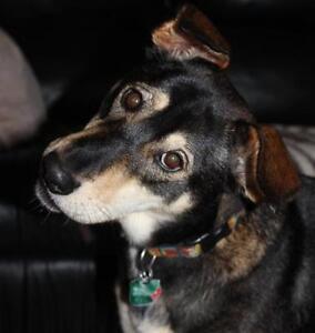 "Adult Female Dog - Labrador Retriever-Shepherd: ""Pearl"""