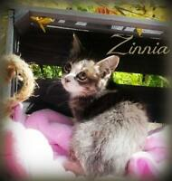 "Baby Female Cat - Domestic Short Hair: ""Zinnia"""