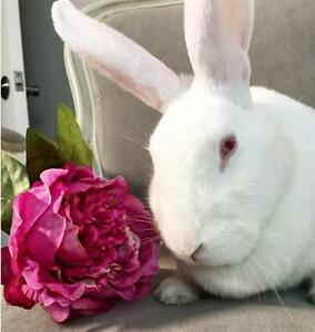 "Adult Female Rabbit - New Zealand: ""Gia"" Cambridge Kitchener Area image 2"