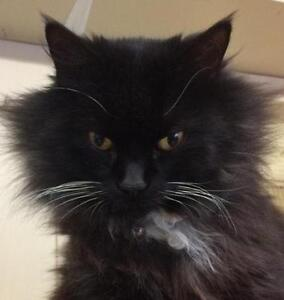 Young Female  - Domestic Long Hair (Black & White)