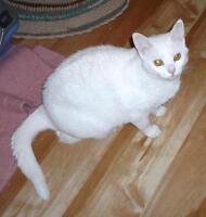 "Young Female Cat - Domestic Short Hair-white: ""Vassy"""