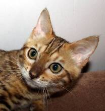 BENGAL ROSETTED KITTENS FOR SALE Karuah Port Stephens Area Preview