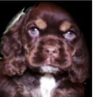 Gorgeous Champion Bloodlines CKC American Cocker Spaniel Puppies