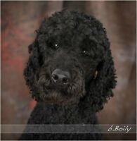 f1b labradoodles for sale