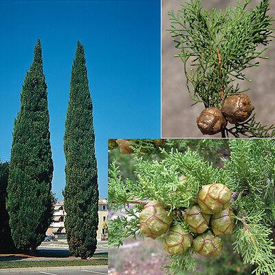 50 semi di CUPRESSUS SEMPREVIRENS Conifera CIPRESSO OMAGGIO 5 di TUJA ORIENTALIS
