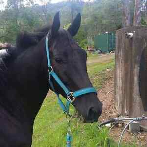 Wanted horse agistment within 30 min of Redcliffe Shorncliffe Brisbane North East Preview