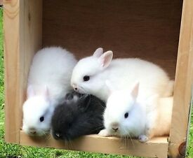 Baby pure Netherlands dwarf rabbits
