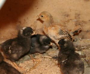 Beautiful Assorted Breeds- Chicks ready to go
