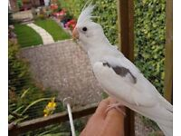Hand reared Baby albino Cockatiels for sale