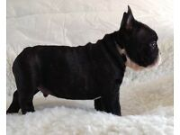 TRUE TO TYPE FRENCH BULLDOGS