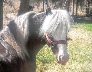 Miniature horses Dubbo Dubbo Area Preview