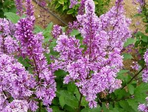 Beautiful Lilacs and Gold Forsythias for Spring Planting: