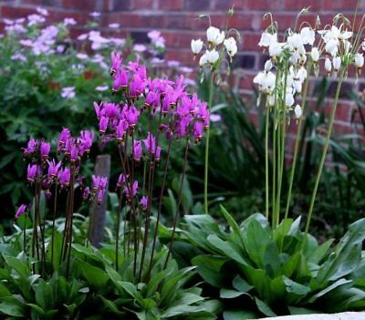 25+   DODECATHEON SHOOTING STARS MIX / SHADE PERENNIAL NATIVE FLOWER SEEDS