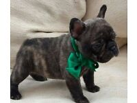 French Bulldog Babies FABULIOUS KC REG . Home Bred top quality health tested and ready to view