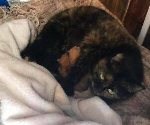 Chatte enceinte perdue & retrouvée Ahuntsic / Pregnant cat found