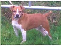 Champion pedigree Plummer Terrier for sale