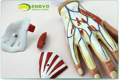 Muscles Of Hand-4 Partsplastic Human Body Muscle Teaching Anatomical Model