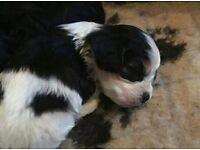 3 male cavapoo puppies