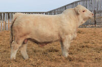 Pro-Char and Guests Charolais And SIMM Bull Sale