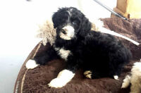 Adorable Goldendoodle and Aussiedoodle Puppies