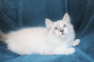 Friendly Male Ragdoll Kitten With Lilac Colour