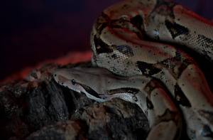 Colombian Red Tailed Boa