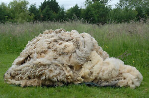 FREE OR CHEAP RAW WOOL / FLEECE WANTED