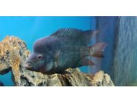 Male flowerhorn and comes with flowerhorn food