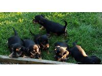 Jack Russel x Yorkshire terrier